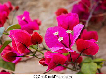 bougainvillea, bloemen, papier