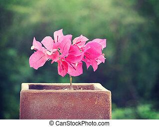 bougainvillea, blomningen, gammal, retro, årgång, stil