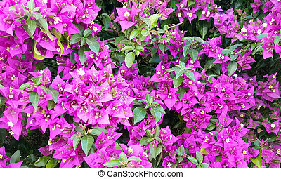 Bougainvillea bloom background