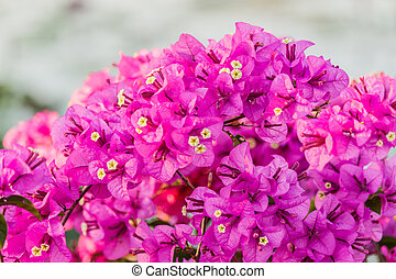bougainvillea bloom (bougainvillea, flower, pink).