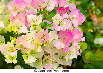 Bougainvillea ? (Bougainvillea ) is beautiful flowering perennial plant that delights with its appearance.