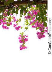 bougainvillea, fiore