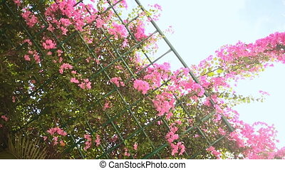 Bougainvillea floewrs bush against the sky in the garden. Hanging from lattice. First version.