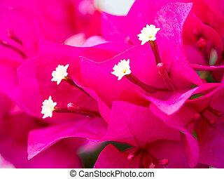 bougainvillea, flores, foco suave