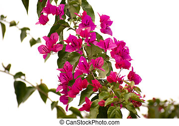 Bougainvillea flower in a white background.