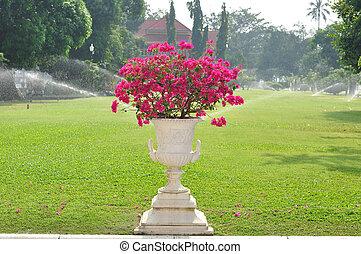 bougainvillea, flower-pot., bonito, branca