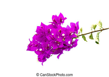Bougainvillea flower.