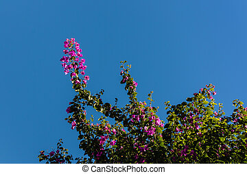 Bougainvillea flowers against sky