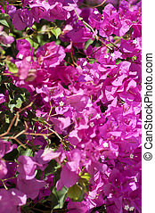 Bougainvillea flowers background