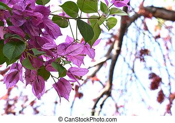 Bougainvillea flowers in the garden