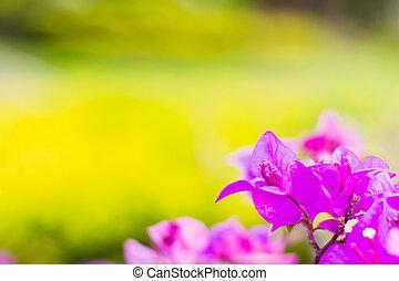 bougainvillea flowers purple color