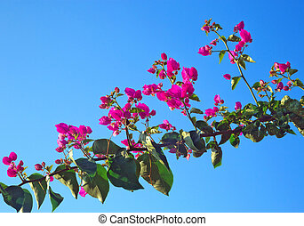 bougainvillea, glabra, choisy, o, carta, flower.