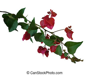 Bougainvillea isolated flowers - Image composition Floral...