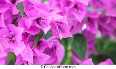 Bougainvillea Paper Flower - Bougainvillea or paper flower...