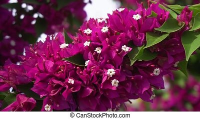 bougainvillea pink flowers close up shaking in wind