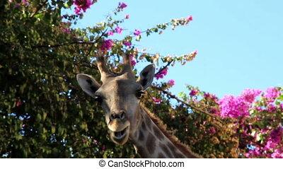 bougainvillea, plante, girafe, mastication, sous