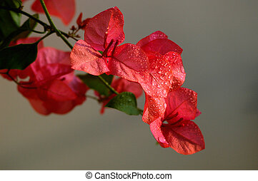 Bougainvillea spectabilis wind with dewdrops - Blooming red...