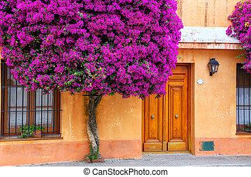 Bougainvillea tree growing by the house in historic quarter of Colonia del Sacramento, Uruguay
