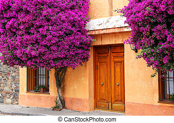 Bougainvillea trees growing by the house in historic quarter of Colonia del Sacramento, Uruguay