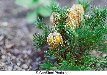 bougie, banksia, indigène, ensoleillé, plante, extérieur, anniversaire, australien, arrière-cour