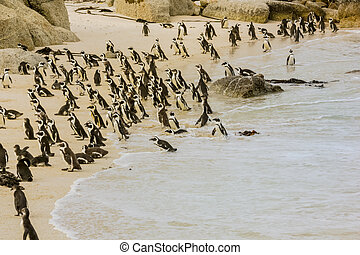 Boulder Beach Colony of African penguins. Penguin walking on the white shore of Boulder Beach Nature and Reserve near Simon's Town and Cape Town on Cape Peninsula, South Africa.
