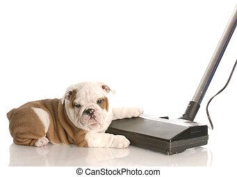 bouledogue, -, anglaise, pose, chien, à côté de, vide, désordre