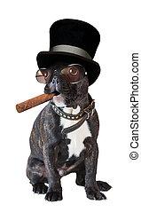 bouledogue, cigare, chien, francais, séance