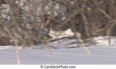 Bounding Snowshoe Hare - slow - A snowshoe hare bounds along...