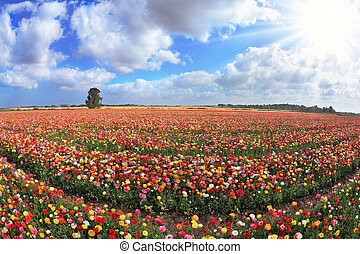 Boundless kibbutz field sown with flowers. The magnificent...