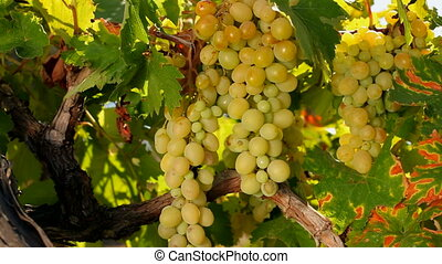 Bountiful harvest - A bunch of white grapes growing on vine...