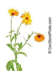 bouquet, fleurs, arrière-plan orange, isolé, blanc, calendula