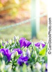 bouquet, fleurs, matin, lisianthus, violet