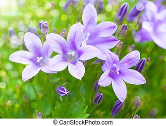bouquet., fond, campanule, printemps, beau
