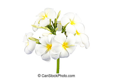 bouquet, i, hvid, plumeria