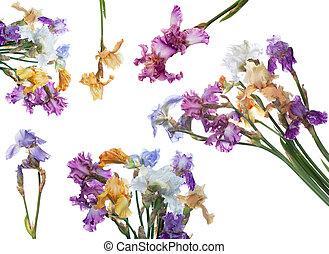 bouquet, iris, fleurs