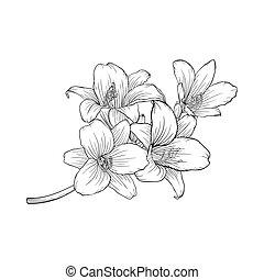 bouquet, isolé, arrière-plan., noir, lis blanc