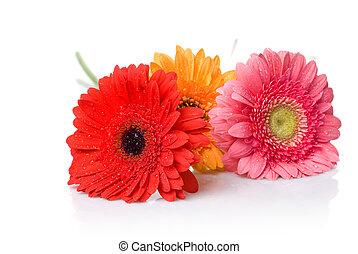 bouquet, isolé, eau, daisy-gerbera, gouttes, blanc