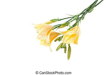 bouquet, jaune, daylilies
