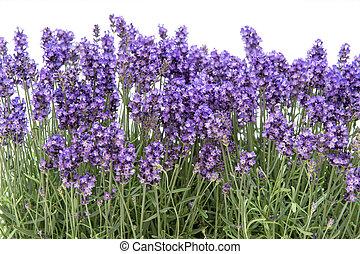 bouquet, lavande, fond, floral, fleurs blanches, frontière