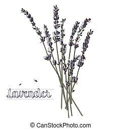 bouquet, lavande, illustration, vecteur, fond, blanc
