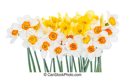 Bouquet of beautiful narcissus