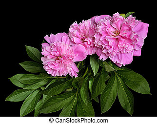 Bouquet of beautiful pink peonies isolated on a black background