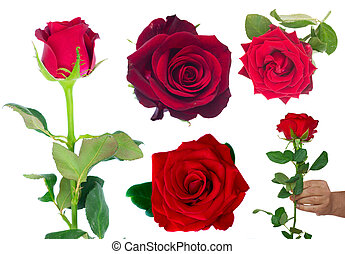 bouquet of blossoming dark red roses in vase - set with frsh...