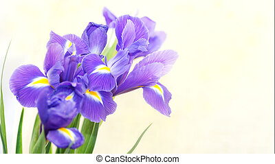 bouquet of blue irises on a light background with place for text.
