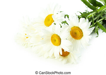 Bouquet of chamomile flowers isolated on a white