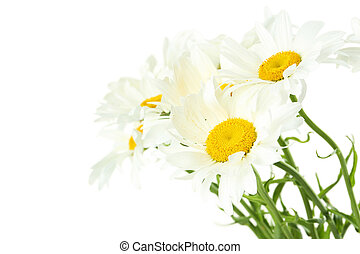 Bouquet of chamomile flowers on a white background