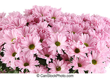 Bouquet of Chrysanthemums - Close-up of a lot of purple...