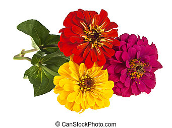 Bouquet of colored zinnia flowers on a white background