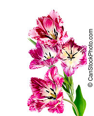 bouquet of colorful fringed tulips