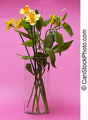 Bouquet of daffodils in a glass vase on a pink background